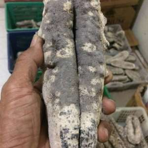 sea cucumber for sale, sea cucumber for sale philippines, sea cucumber for sale uk, sea cucumber for sale malaysia, sea cucumber for sale brisbane, sea cucumber for sale usa,sea cucumber for sale canada, california sea cucumber permits for sale, dried sea cucumber for sale philippines, sea cucumber for extract buy, sea cucumber food for sale, live sea cucumber for sale, live sea cucumber for sale uk, sea cucumber on sale, sea cucumber powder for sale, sea cucumber to buy, sea cucumber wholesale