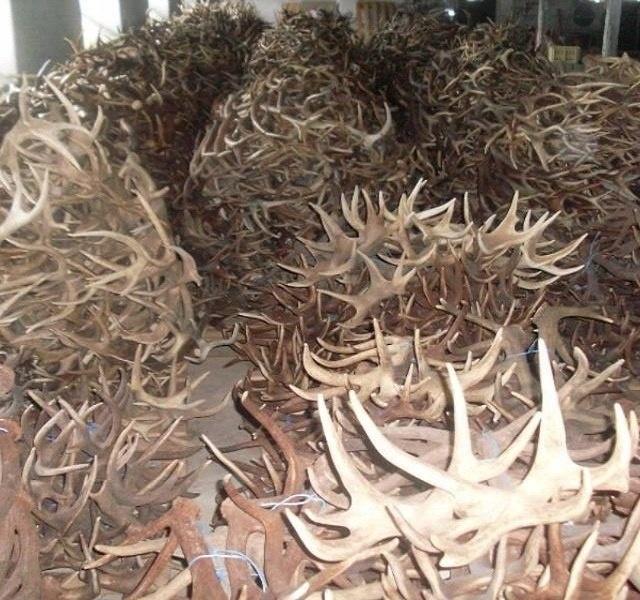 Deer antlers | Deer antlers for sale online | Deer with antlers with velvet