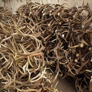 Deer antlers | Deer antlers for sale online | Deer with antlers with velvet