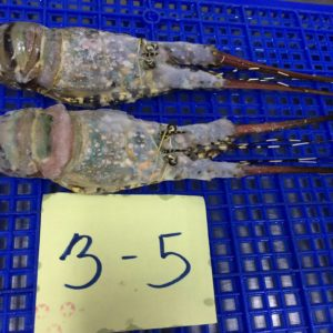 Frozen lobster tails | Buy Frozen lobster | Frozen lobster tail wholesales